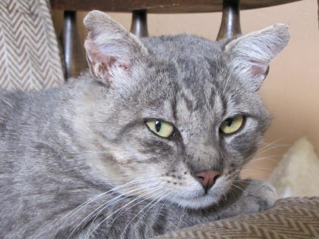 Spider chat tigré gris mâle FIV+ de 08/2005 - dpt 56 Img_0236-1e9757f