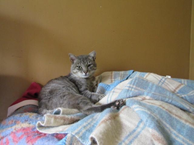Spider chat tigré gris mâle FIV+ de 08/2005 - dpt 56 Img_0335-1f4bdef