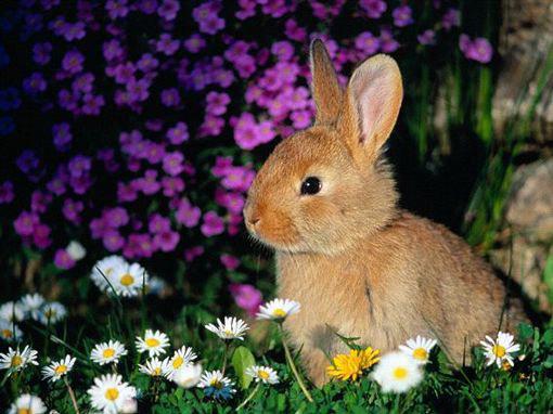 lapin-fleur-des-champs-fond-d-ecran-flora