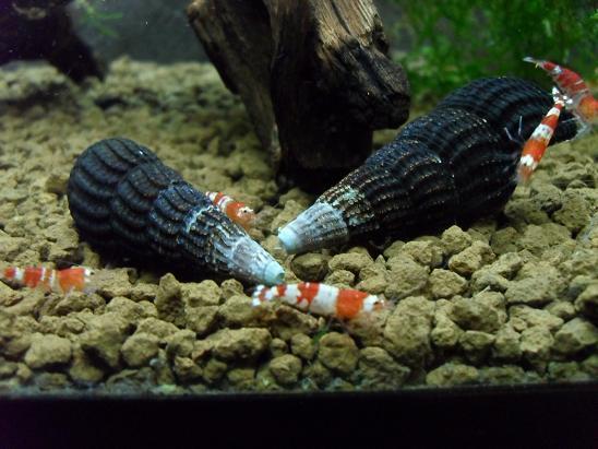 ma shrimproom et fishroom Sdc12066-1d0f4d5