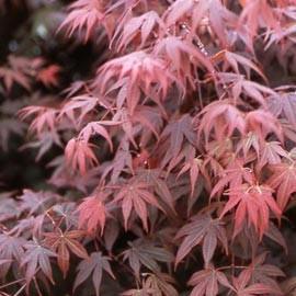 Arbres et arbustes erable du japon - Arbre mediterraneen croissance rapide ...