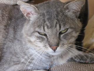 Spider chat tigré gris mâle FIV+ de 08/2005 - dpt 56 Img_0234-1e975d3