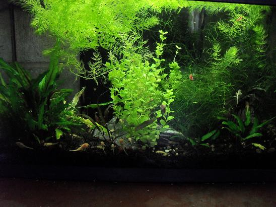 ma shrimproom et fishroom Sdc12059-1d0f4ab
